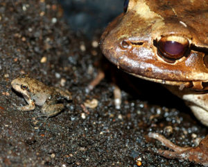 Mountain chicken froglet with its mother